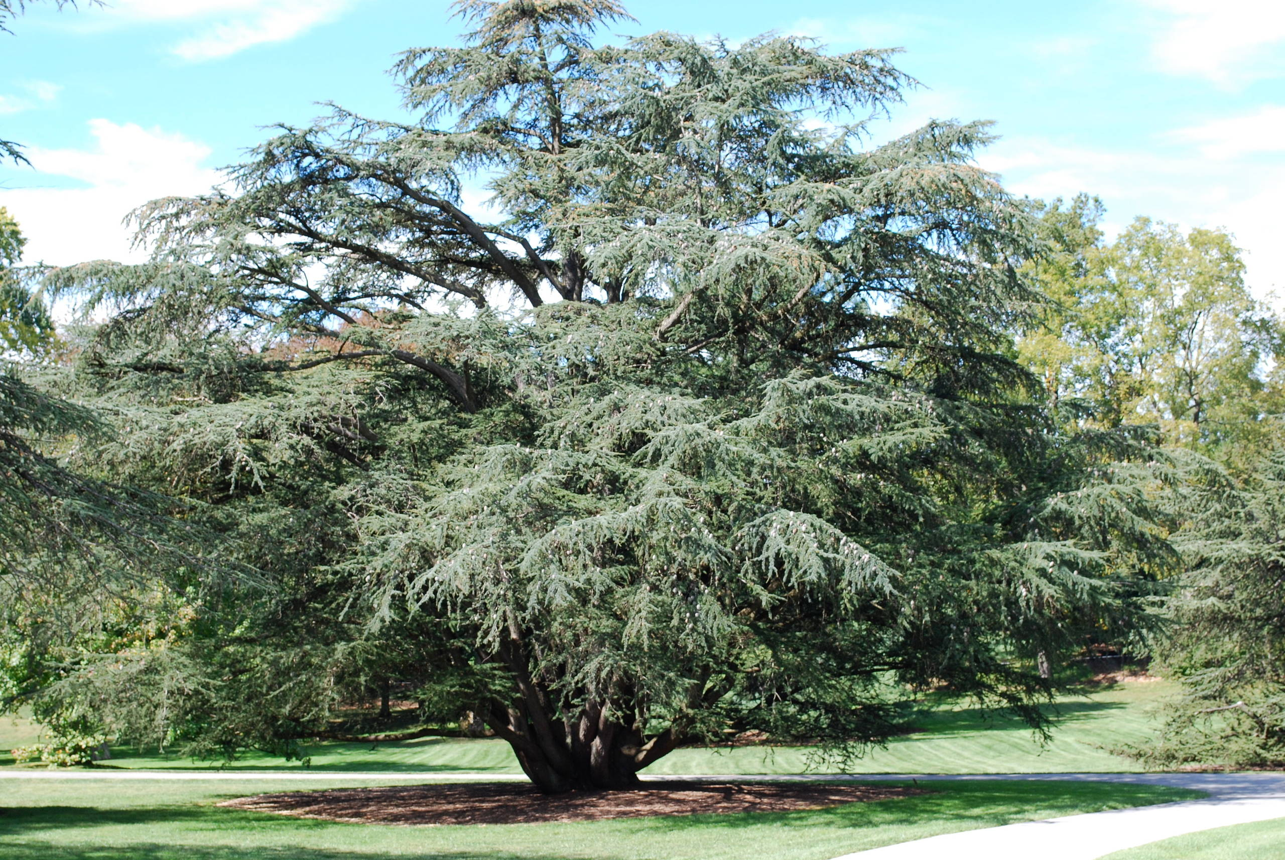 Blue Atlas Cedar (Species) at Longwood Garden, Pa.