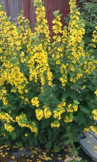 Tall Spiky Plant With Yellow Flowers