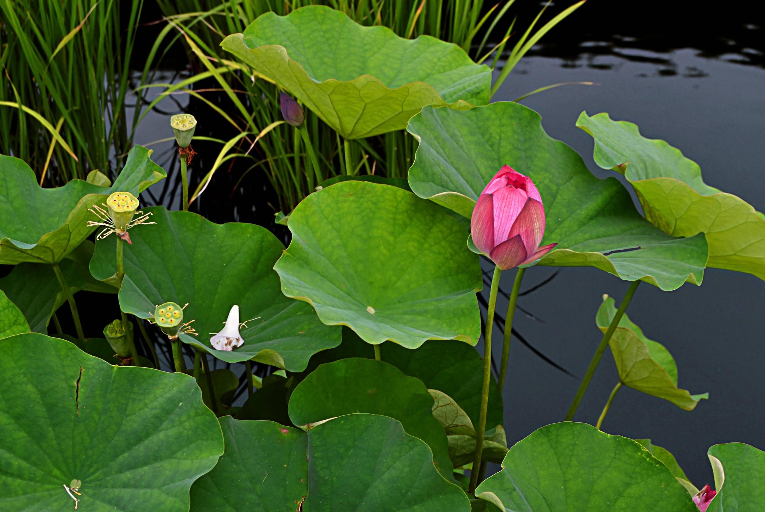 Lotus Poetry I