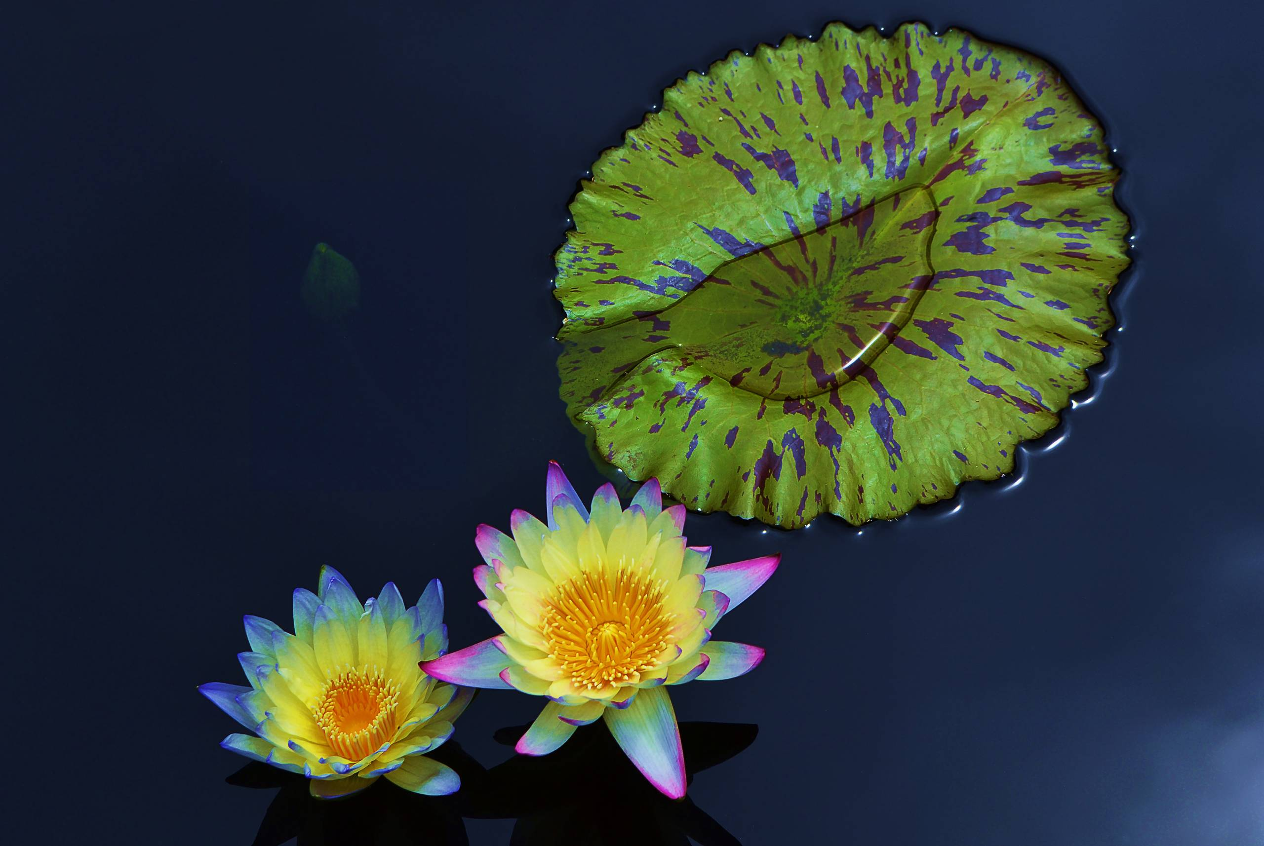 Two Water Lilies Neon