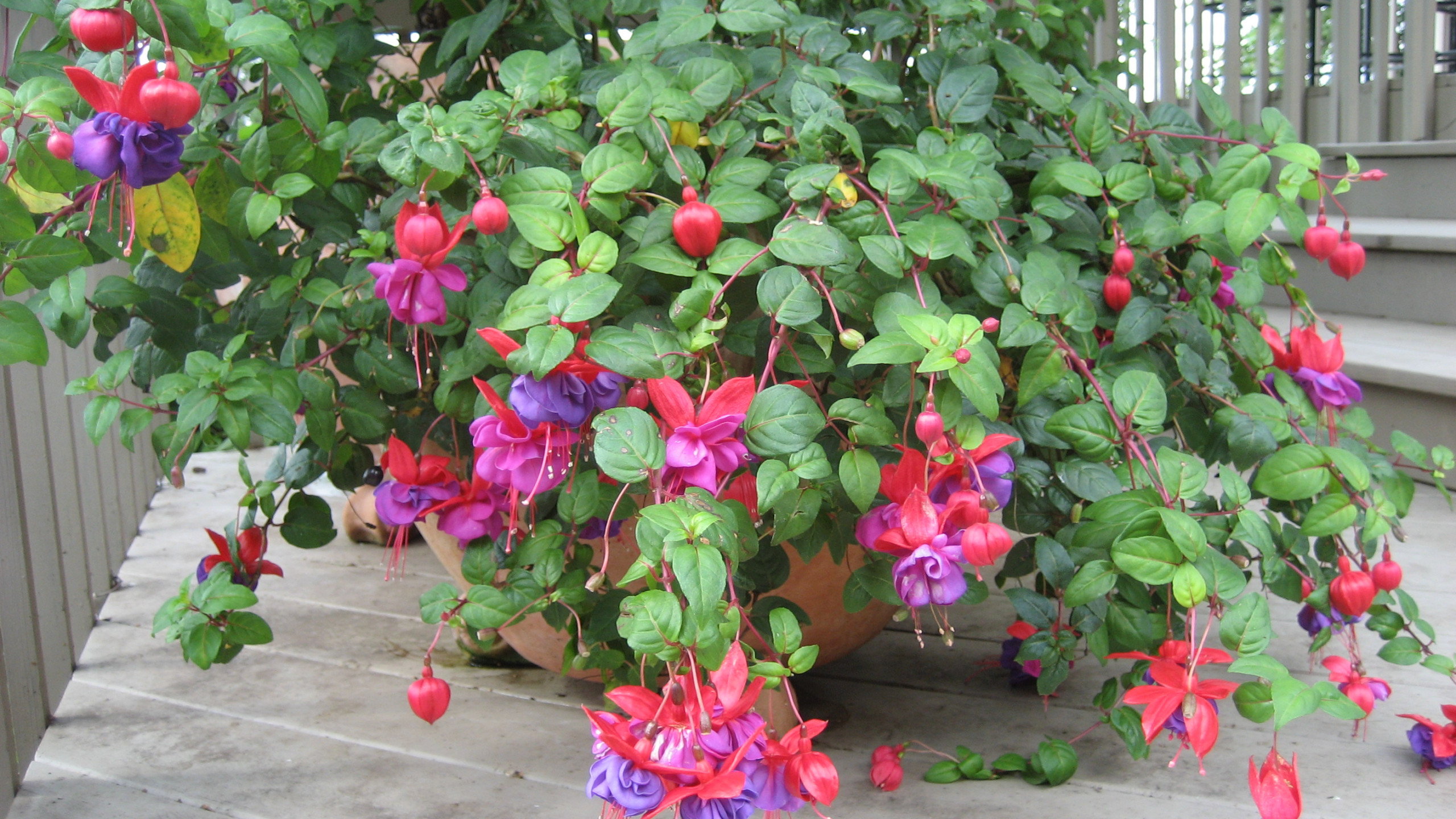FUSCIA ON DECK BEAUTFUL DETAILS IN THESE FLOWERS