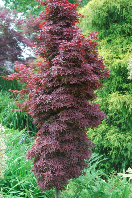 Twomblys Red Sentinal Japanese Maple Asian Charlotte By Jay