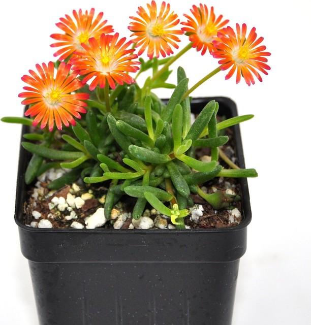 Delospermum HotCakes, Pumpkin Perfection - Ice Plant