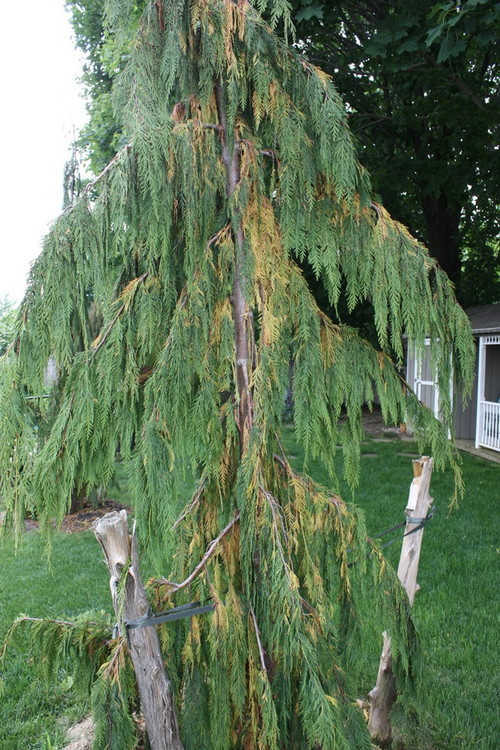 Weeping Quot Nootka Quot Alaskan Cypress Turning Brown