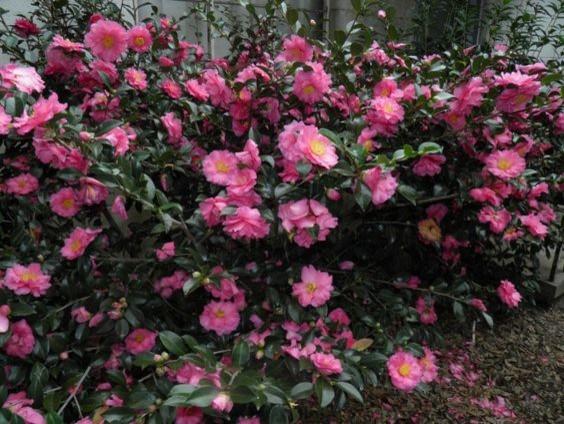 Shishi Gashira Camellia Atlanta By Mcbrayer Lawn Care Llc