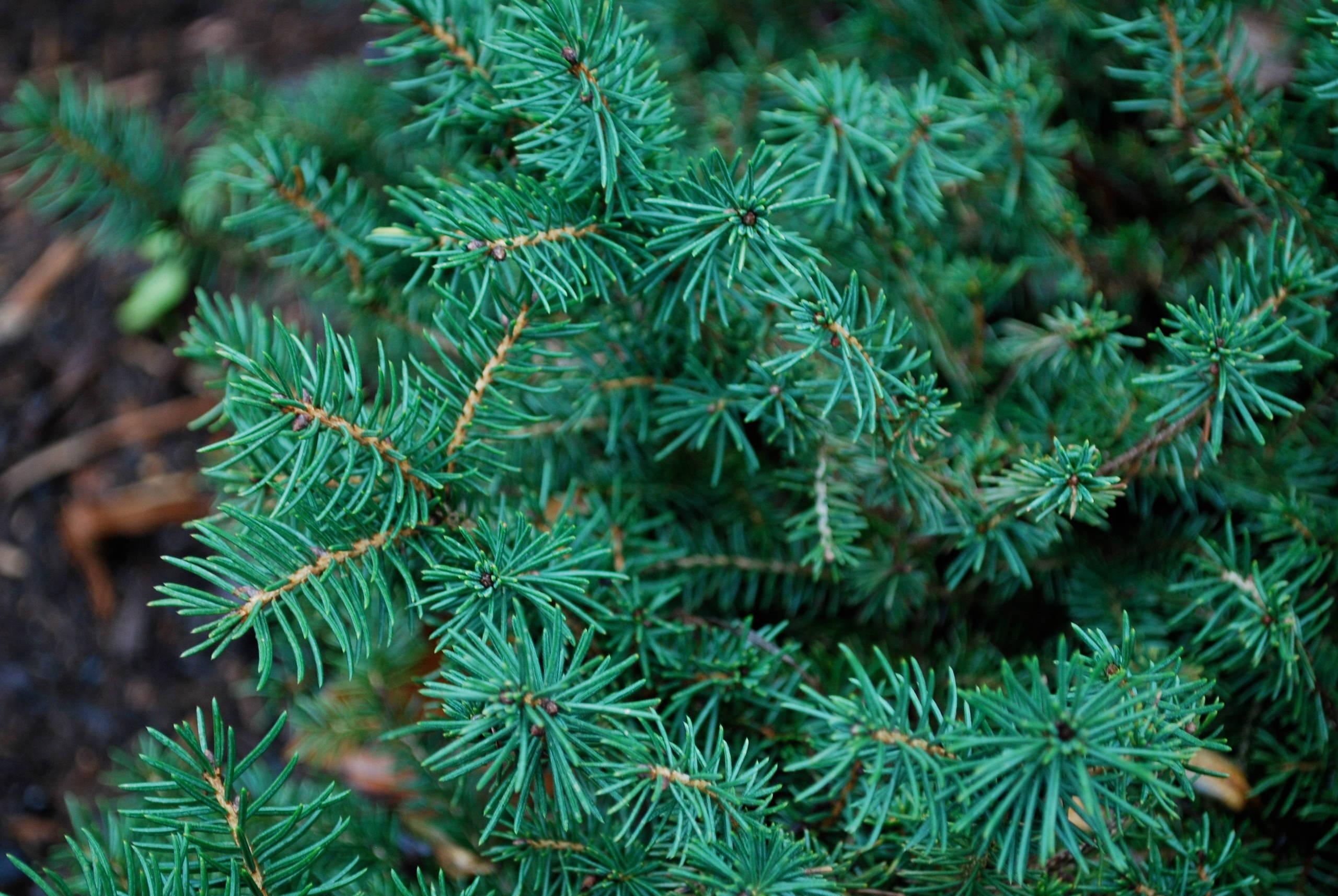 Birds Nest Spruce (Picea abies nidiformis)