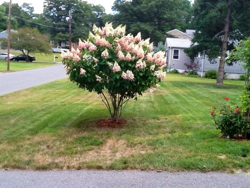 Need a Sturdy, Tall, colored hydrangea for zone 4