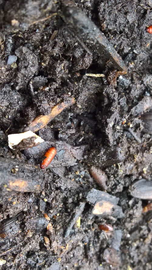 What Are These Small Red Worm Shaped Things In Compost Bin.