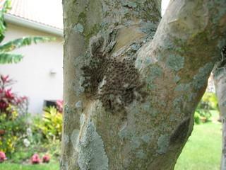 Weird Bugs Swamming On Crape Myrtle