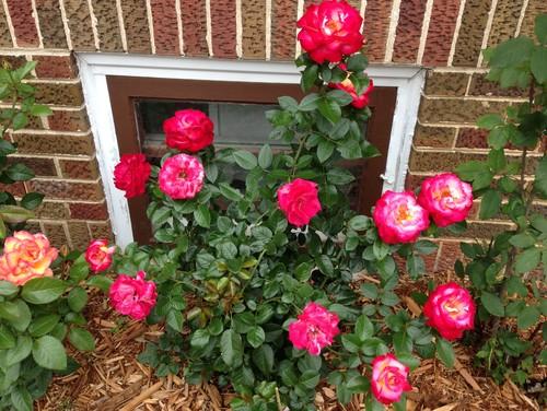 ¿Por qué algunas rosas se marchitan mientras algunas flores se convierten en caderas de rosa? - Los New York Times