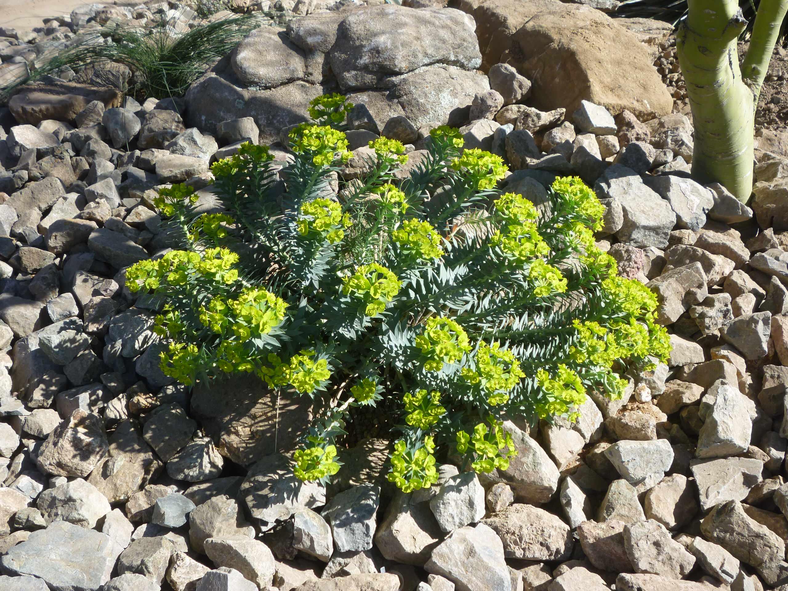 Euphorbia rigida_Gopher Plant