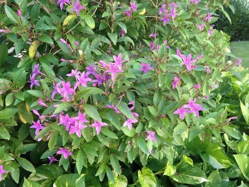 Purple Flowering Shrub Id