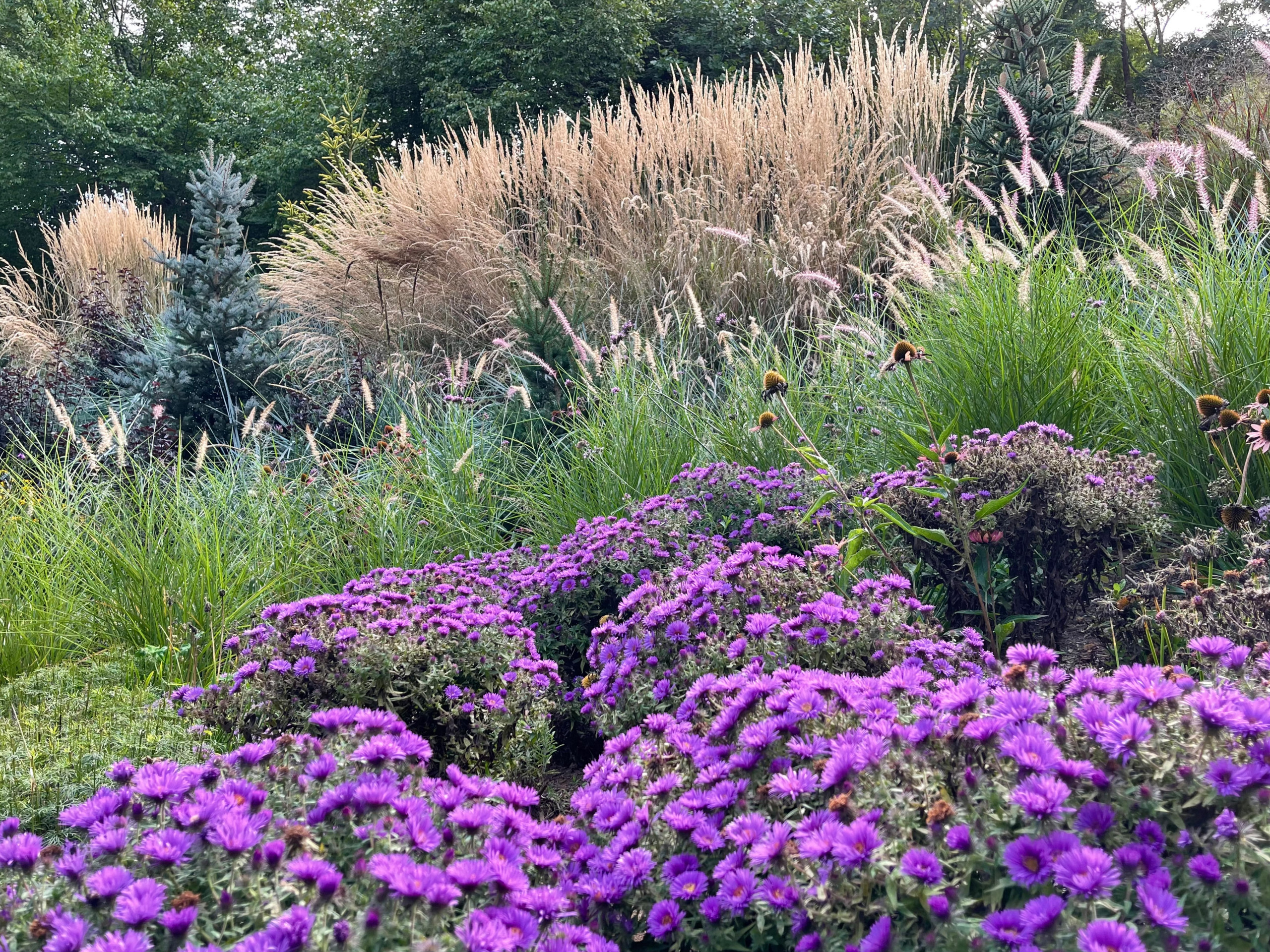 Fall view:  'Purple Dome' asters and 'Karl Foerster' calamagrostis.