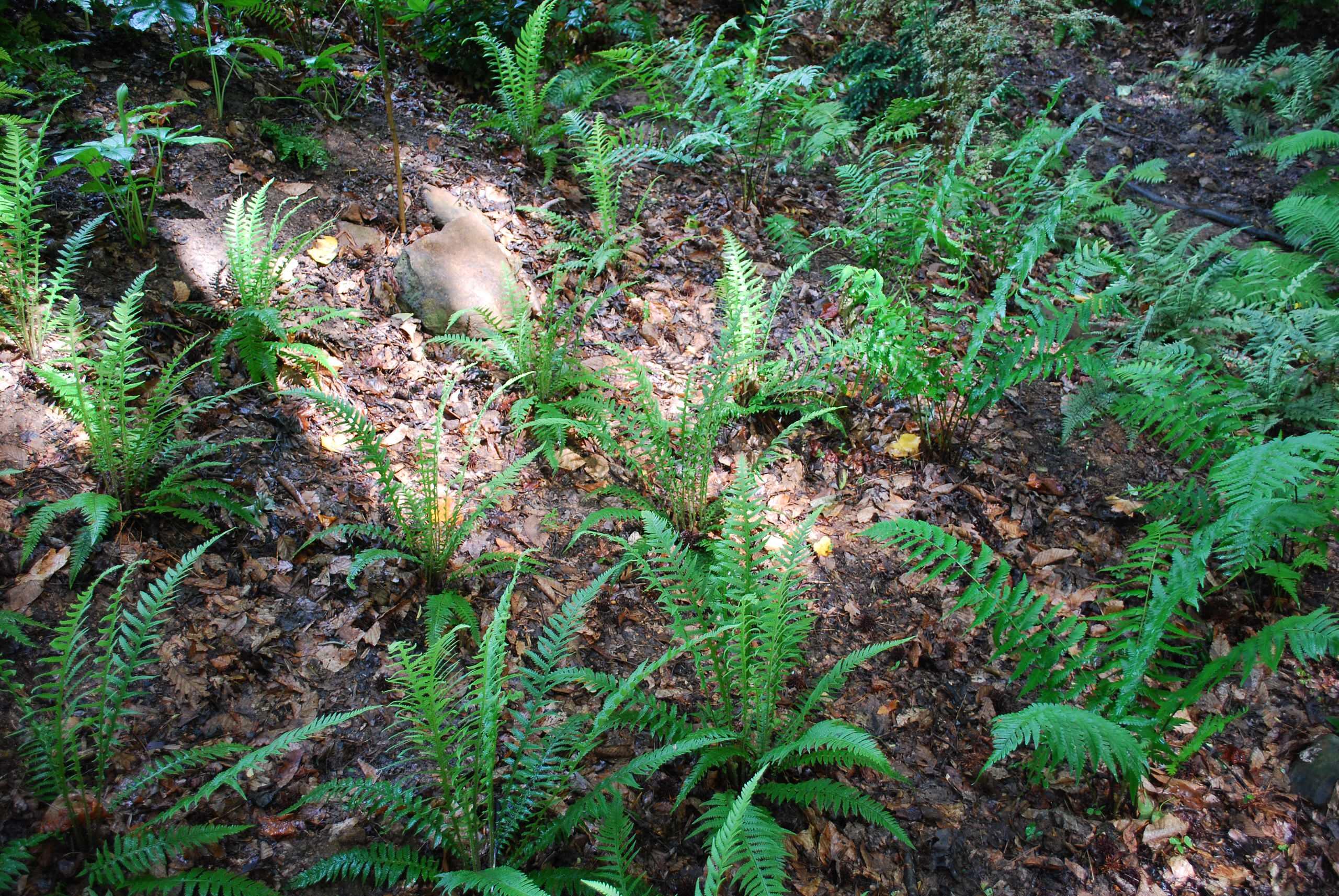 Japanese beech fern