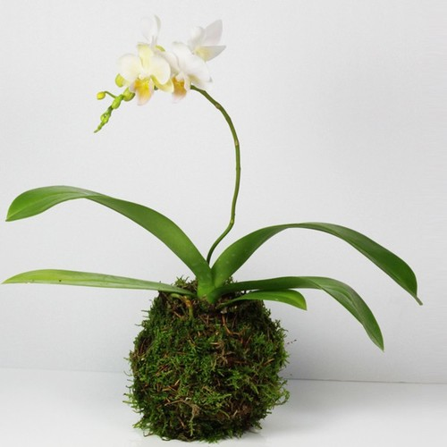 kokedama phalaenopsis. Black Bedroom Furniture Sets. Home Design Ideas