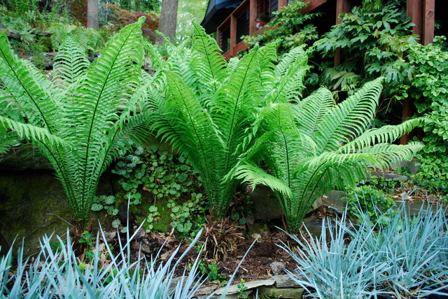Image result for fern in landscaping