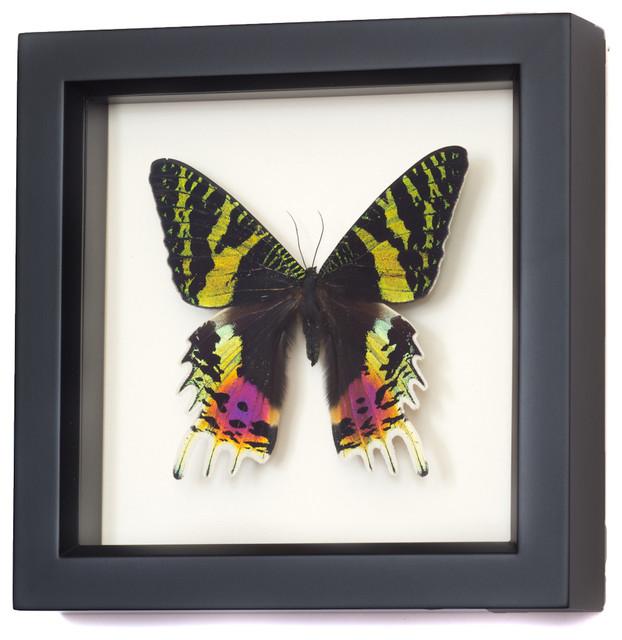 Madagascan Sunset Moth Real Framed Moth