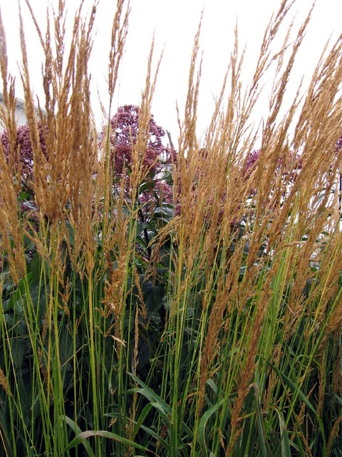 Great Design Plant Feather Reed Grass