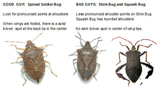 kitchen cabinet bugs pictures stoldier stink and squash bugs how to tell 5170