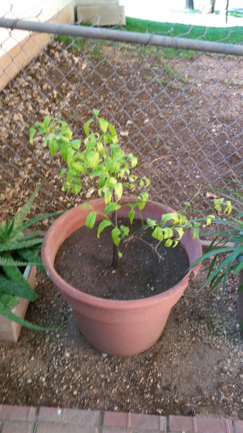 Lemon tree from seeds advice for What does a lemon tree seedling look like