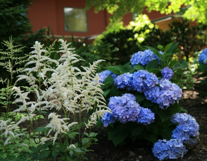 A pairing of Astilbe and Hydrangea