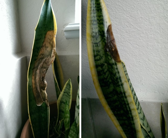 signs snake plant