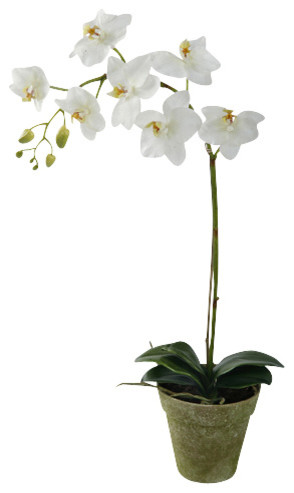 "Phalaenopsis Orchid in Pot, 22"", White"