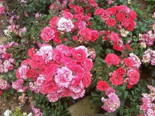 Fc Pink Rose Garden And Lavender Large Jpg