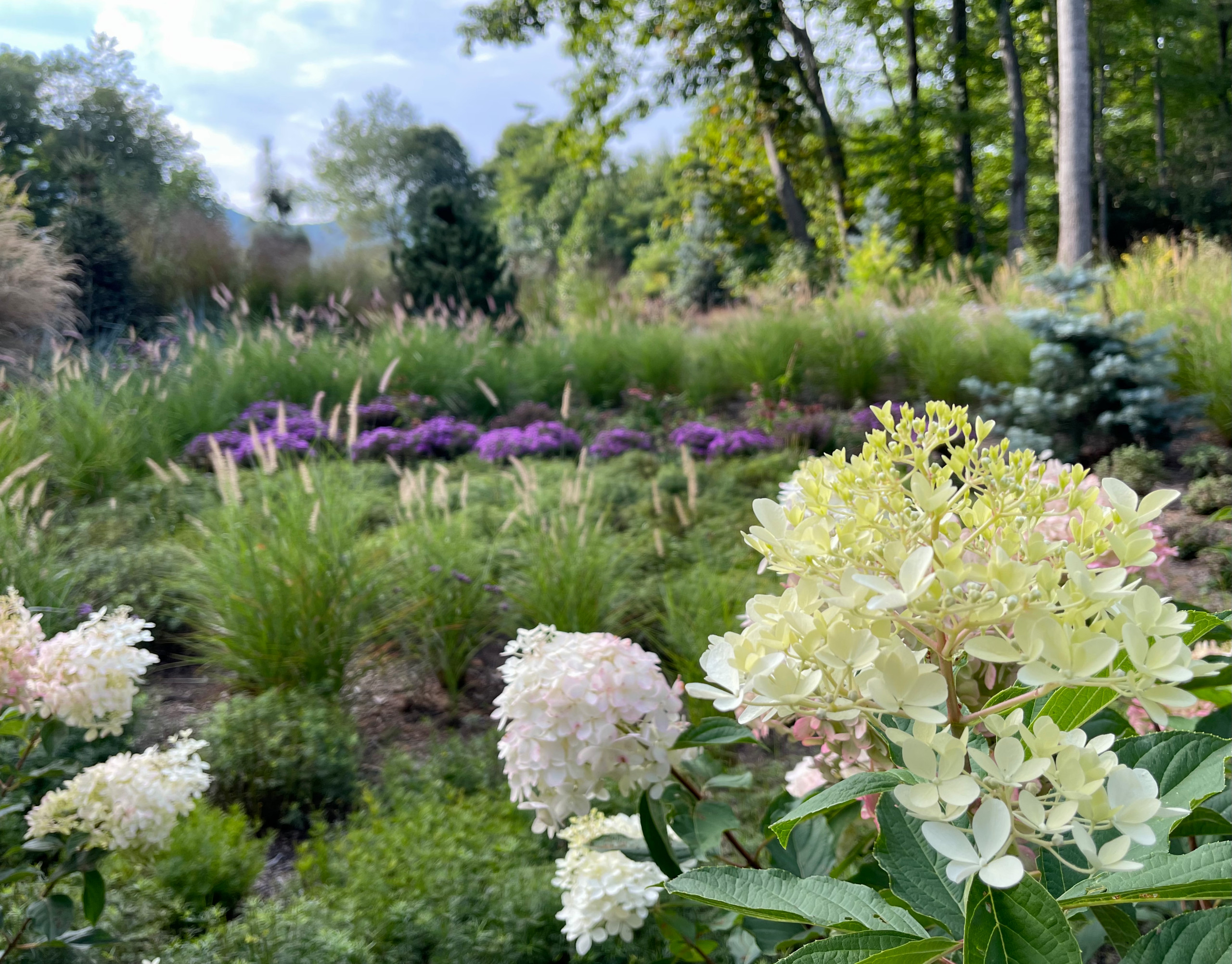 Fall View:  hydrangeas and asters