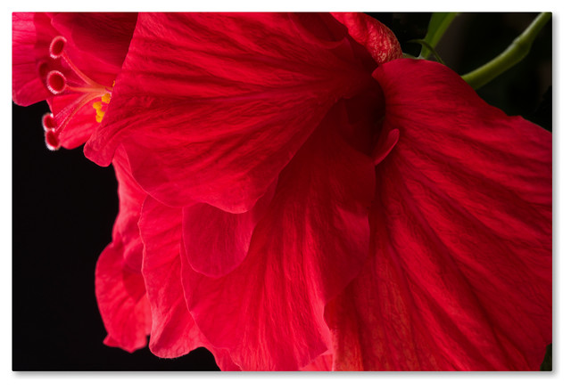 Kurt Shaffer Red Double Hibiscus Canvas Art Tropical Prints