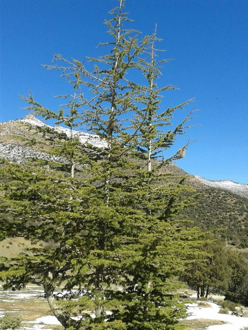 Help To Grow Blue Atlas Cedar From Seeds