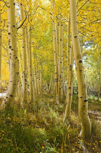 Elegant Aspen Tree Grove In Autumn Wallpaper Wall Mural, Self Adhesive Contemporary  Wall  Home Design Ideas