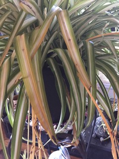 My Magnificent Spider Plant Is Sick Yellowing Then Brown