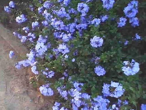 Plant Id Bush W Blue Flowers