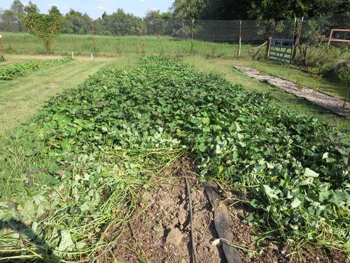 Sweet Potato Harvest Begun