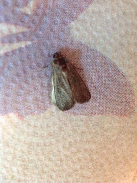 moth resting on kitchen floor.