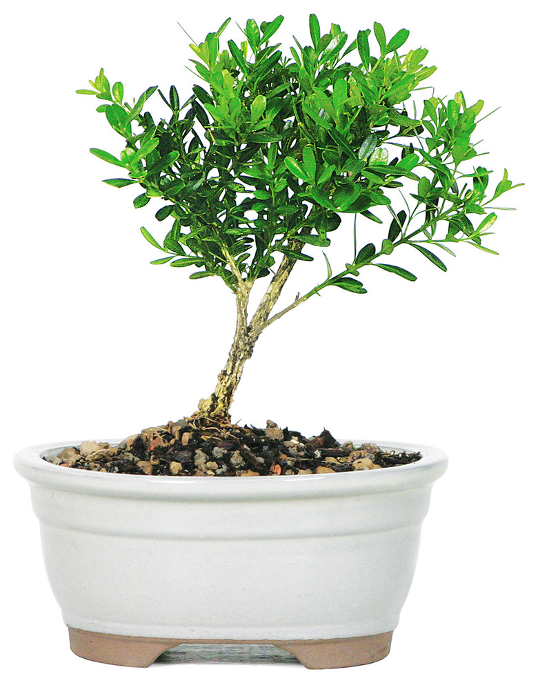 Harland Boxwood Bonsai Tree Asian Artificial Plants And Trees By Brussel S Bonsai