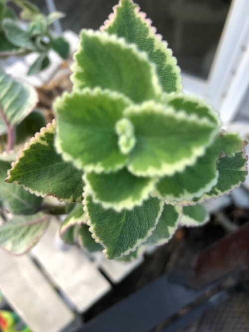 Plant With Fuzzy Green Leaves White Border