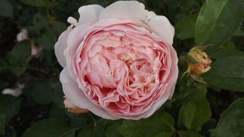 Seis consejos para hacer que su rosa florece grande, hermosa, & amp; Saludable