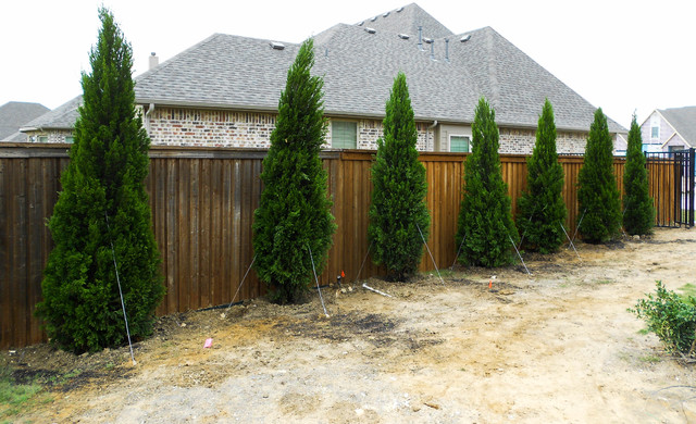 Row Of Spartan Junipers Landscape Dallas By Treeland