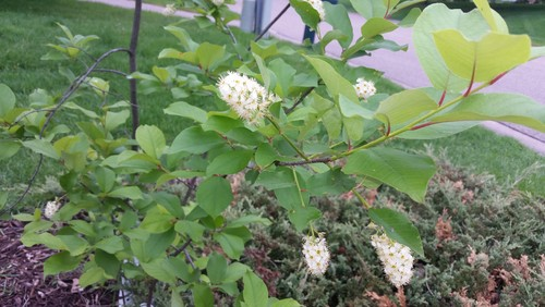 Trying to identify tree with white flower clusters mightylinksfo