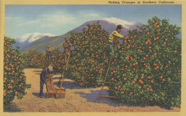 """Southern California, Picking Oranges During Harvest"" Print, 9""x12"""