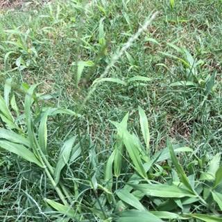 Need help identifying grass type