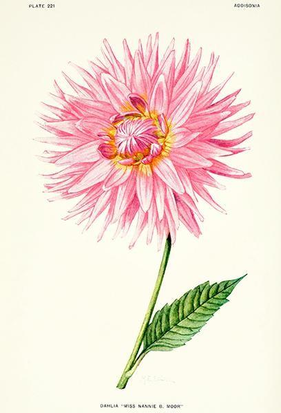 Belladonna Vintage Botanical Floral Illustration Art Poster 24x36