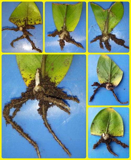 cách trồng và chăm sóc cây kim phát tài3