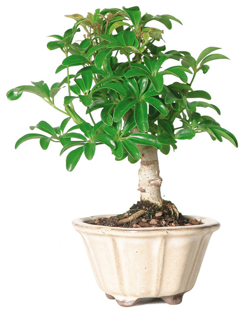 brussels bonsai dwarf hawaiian umbrella tree bonsai tree small plants - Tall Potted Plants