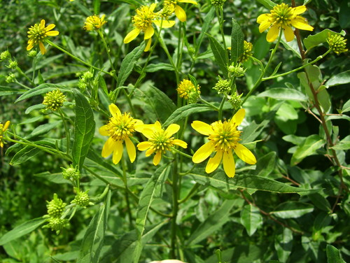 Yellow flowered weed its an annual self seeds like crazy in pennsylvania usually grows about 5 tall thanks mightylinksfo