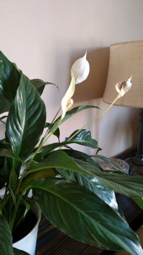 peace lilies turning brown in center of flower. Black Bedroom Furniture Sets. Home Design Ideas