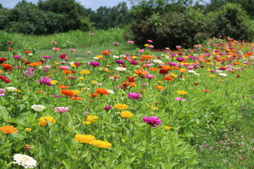 This years zinnia bed on sunflower garden bed, petunia garden bed, sweet pea garden bed, zinnia mix flower bed,