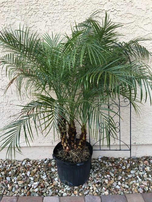 Need Help With Robellini Palm Drooping